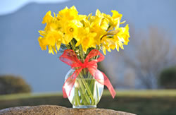20 yellow daffodils in a vase with a red ribbon around the neck