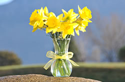 10 yellow daffodils in a vase with a yellow ribbon around the neck